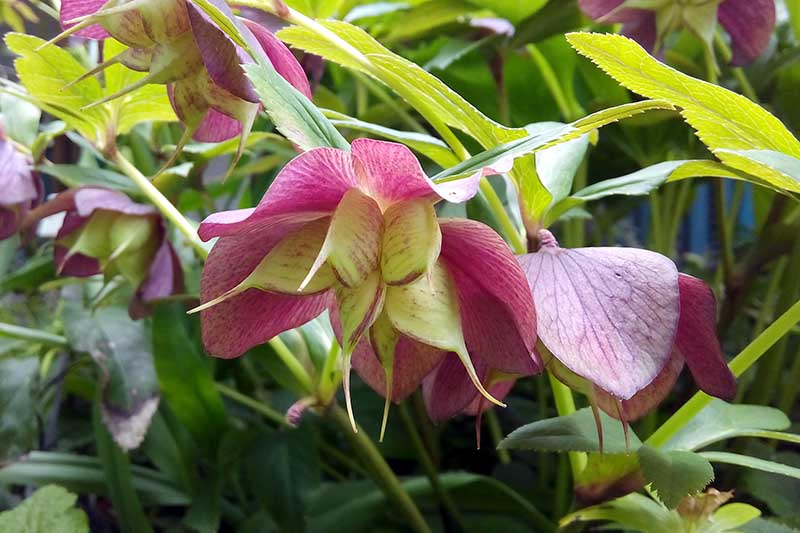 A close up of a pink hellebore flower with large seeds developing in the center, surrounded by foliage in light sunlight on a soft focus background.