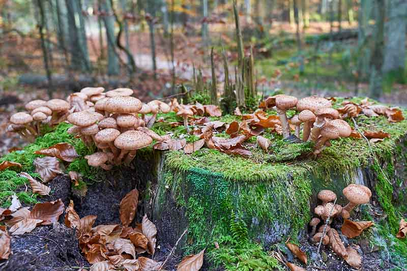 A close up of a dead stump with lots of light brown mushrooms growing on and around it with fall leaves and forest in soft focus in the background.