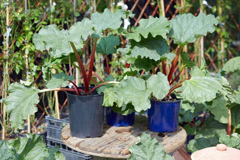 A small rustic wooden table with three pots containing maturing rhubarb plants with pink stems and bright green foliage, pictured in bright sunshine with a garden scene in soft focus in the background.