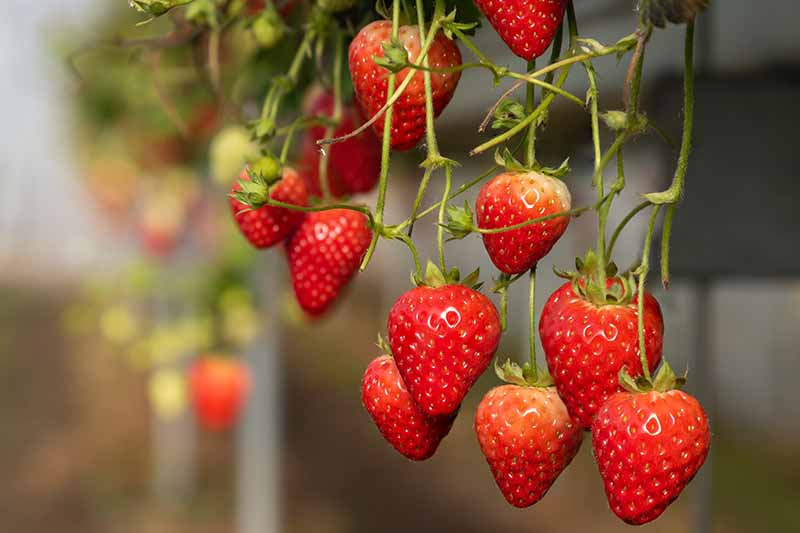 A close up of bright red, ripe strawberries hanging from the branch on a soft focus background.