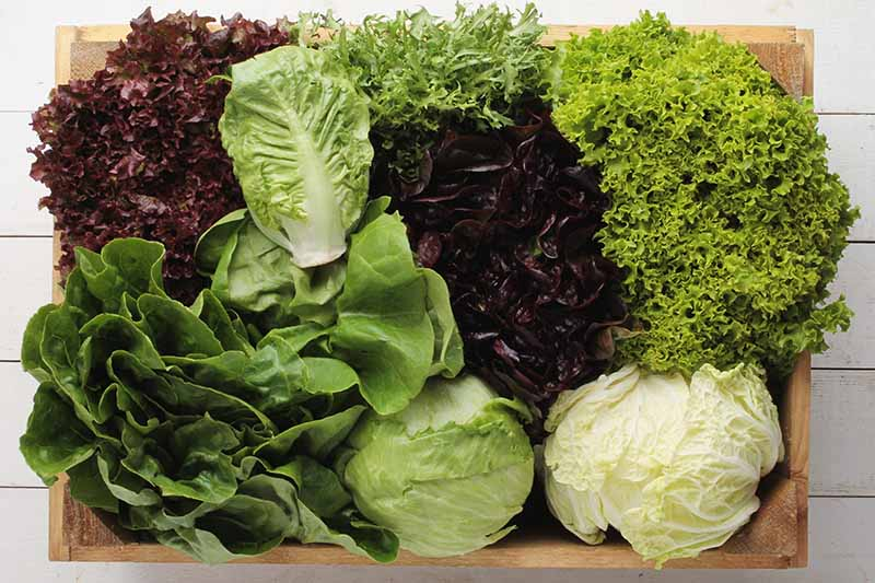 A close up of eight different varieties of lettuce, from tight headed iceberg to frilly red cultivars, set on a wooden board on a white surface.