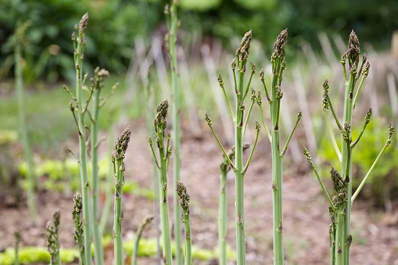 Young asparagus spears growing in the garden showing the bright green stalks and slightly darker heads, with a garden scene in soft focus in the background.