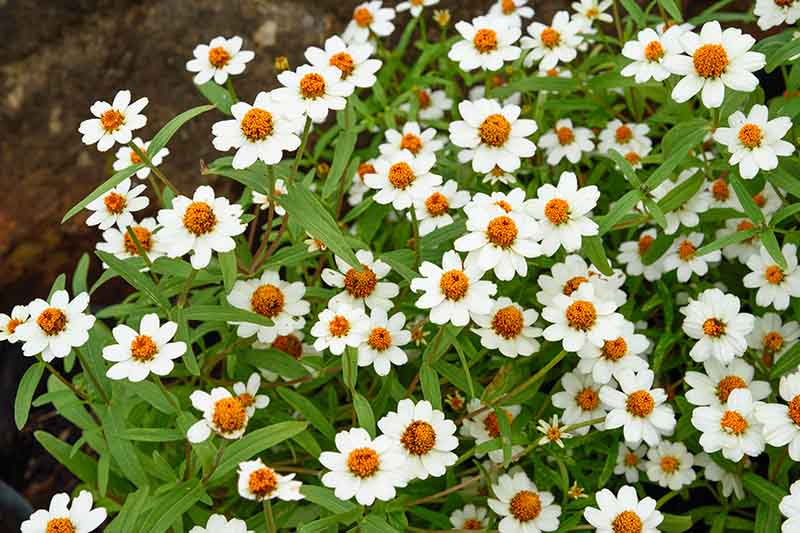 A close up of a Melampodium leucanthum plant growing in the garden with a profusion of white daisy flowers with yellow centers and light green foliage.