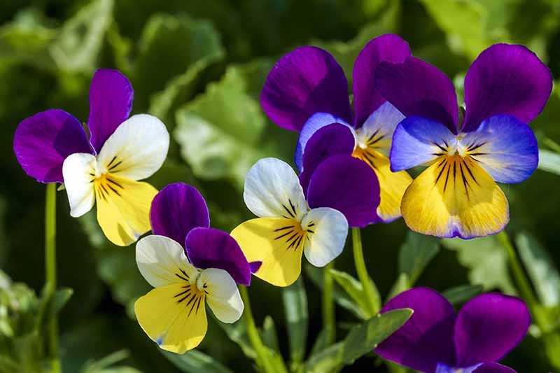 A close up of different colored violets growing in the garden in bright sunshine growing in the garden.