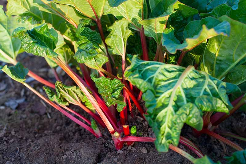 A close up of a rhubarb plant growing in the garden with bright red stalks and green foliage, in light sunshine, with rich earth around the base of the plant, fading to soft focus in the background.
