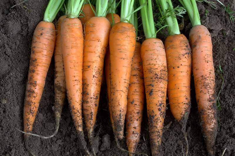 A close up of freshly harvested carrots with soil still on the roots and tops still attached set on rich, dark garden soil.