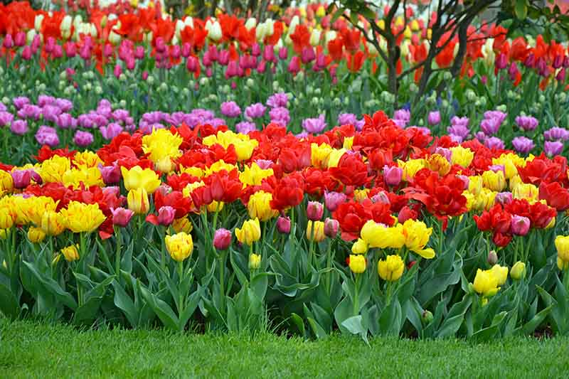 A close up of various different colored tulips growing in a mass planting in a field in springtime, with the short grass of a lawn in front of them.