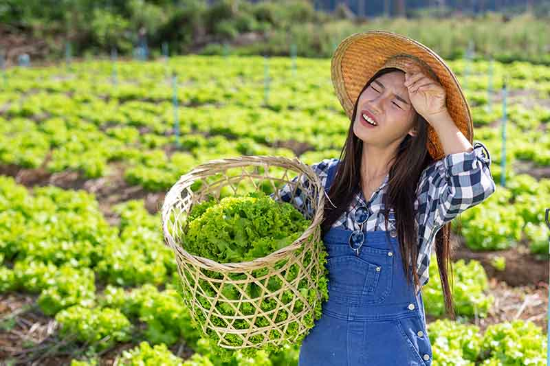 A woman wearing a straw hat is wiping her brow and holding a wicker basket filled with lettuce. In the background is a large field of lettuce in soft focus.