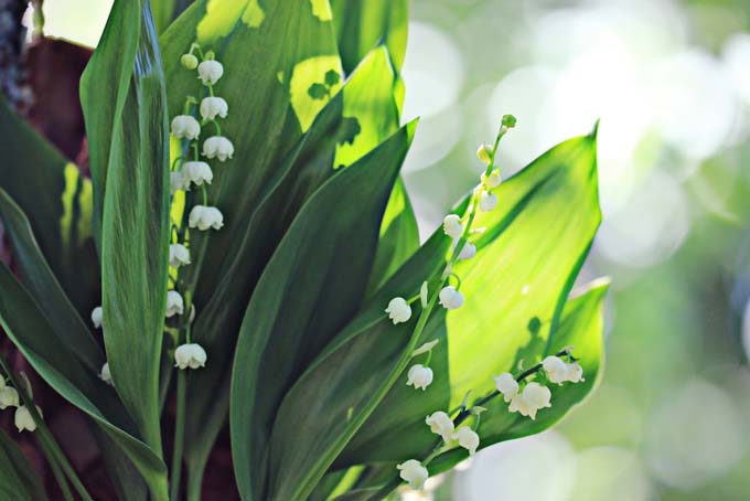 lilly of valley closeup