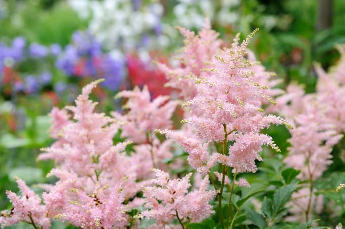 Pink Astilbe in foreground with red and purple in out of focus background