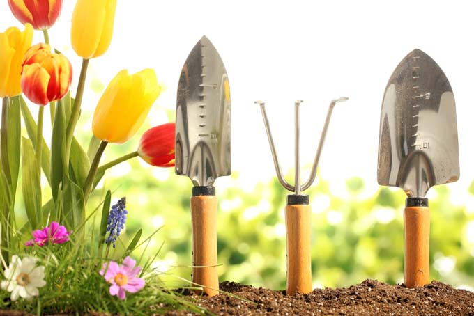 A spade, trowel, and hand cultivator with handles stuck in the soil to stand upright, in a garden with cosmos, grape hyacinth, and orange and yellow tulips.