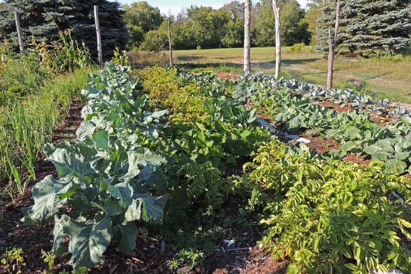 An organic no till vegetable garden.