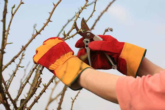 Pruning hybrid roses | GardenersPath.com