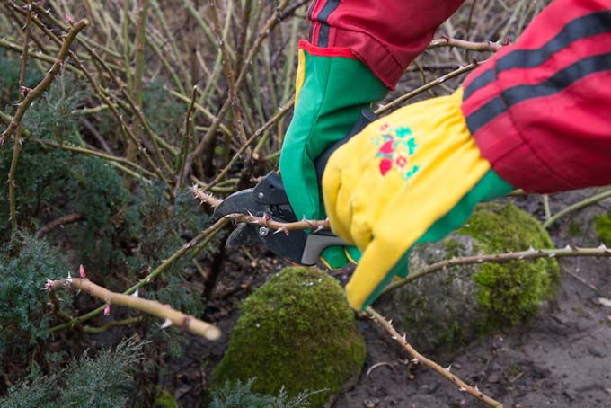 Gloved hands and arms protected by long sleeves, pruning thorny roses.