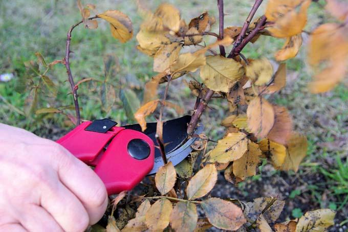 Pruning shrub roses | Foodal.com