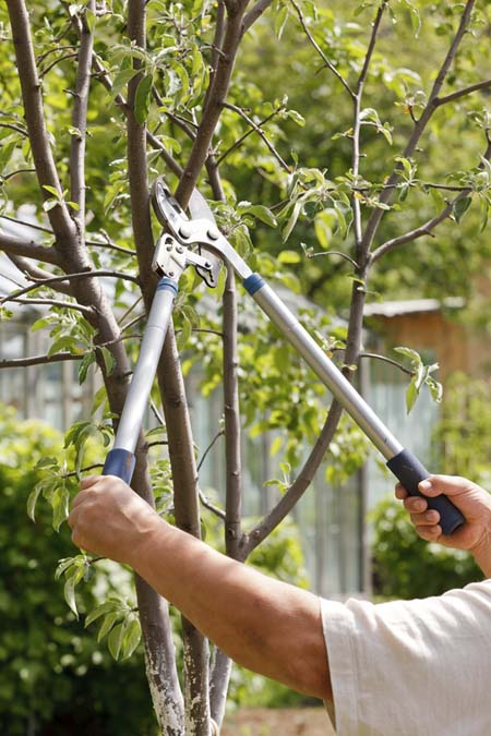 Pruning young tree | GardenersPath.com