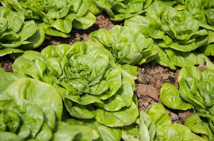 Butterhead lettuce in the garden | Gardenerspath.com
