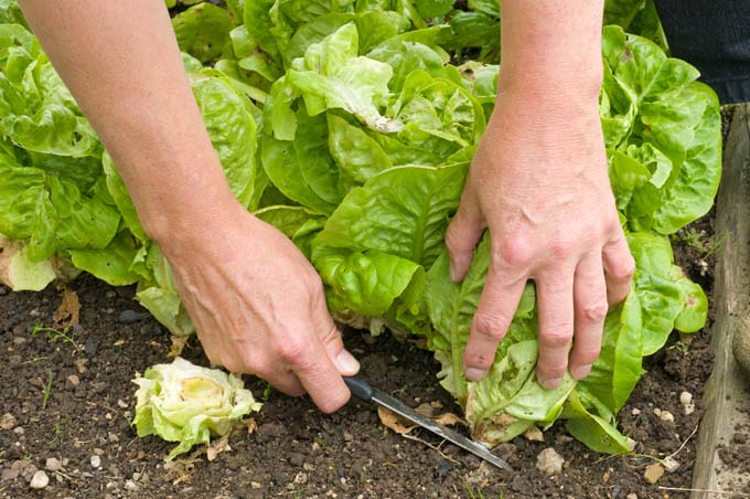 Romaine being harvest by cutting at ground level