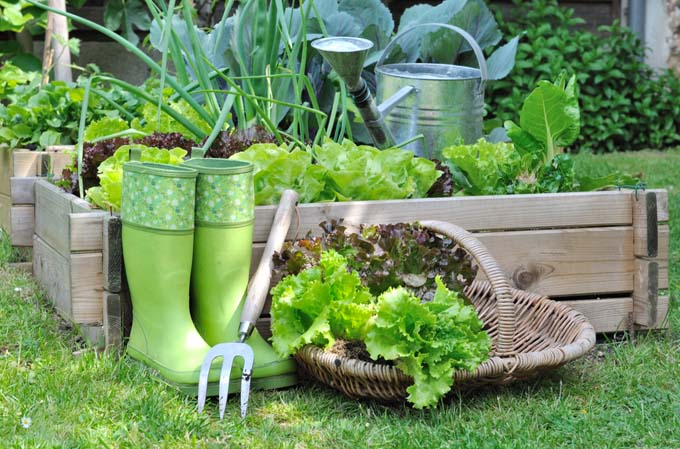 How to Grow Lettuce | GardenersPath.com