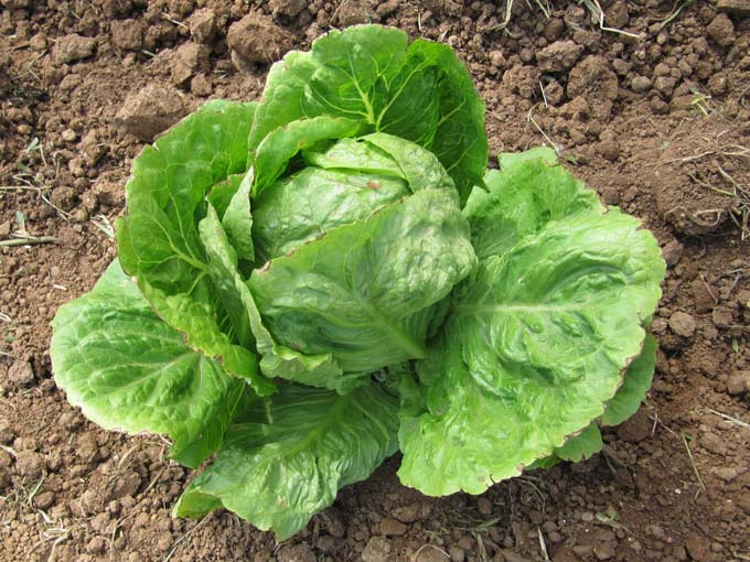 The most common type of crisphead, iceberg lettuce growning in a garden.