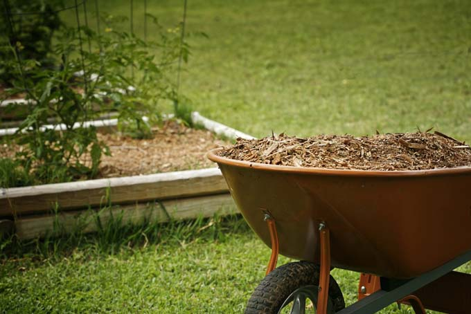 Wheel barrow full of shredded bark mulch with raised garden bed and tomatoe plant in the background