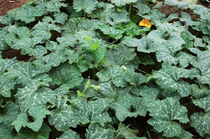 Squash vines that a spreading throughout garden