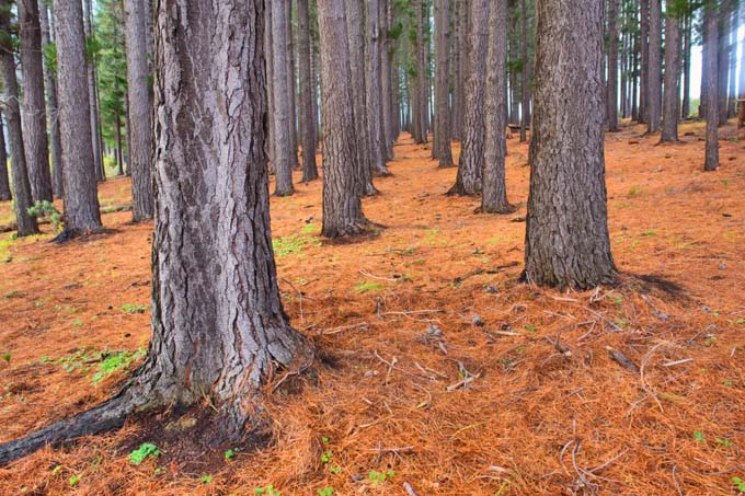 Pine needles on the floor of conifer forest act as a mulch and inhibit the growth of secondary plants