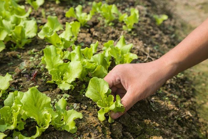 A human hand plants lettuce seedlings by gently inserting them into the garden soil
