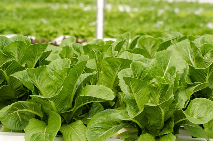 Romaine lettuce in a raised bed