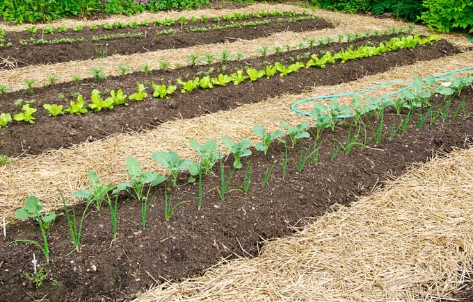 Mulching low maintenance gardening for Mulch for vegetable garden
