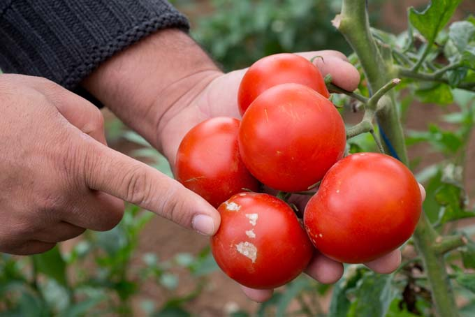 Two hands hold a half dozen tomatoes. Finger pointing at blight infected area on one of the fruits.