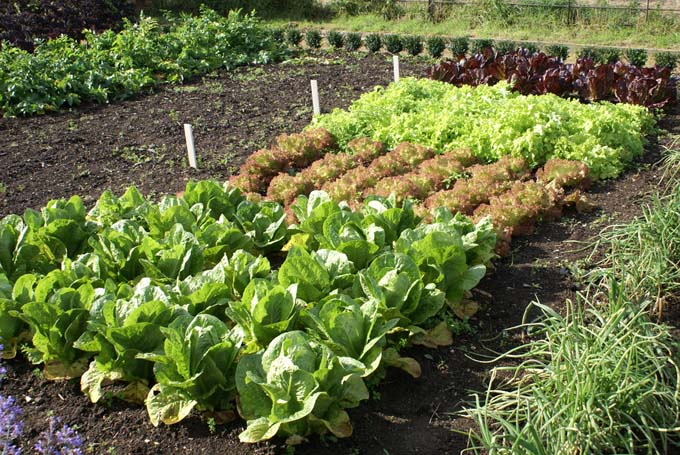 A plethora of lettuce types and varieties growing in a gaden