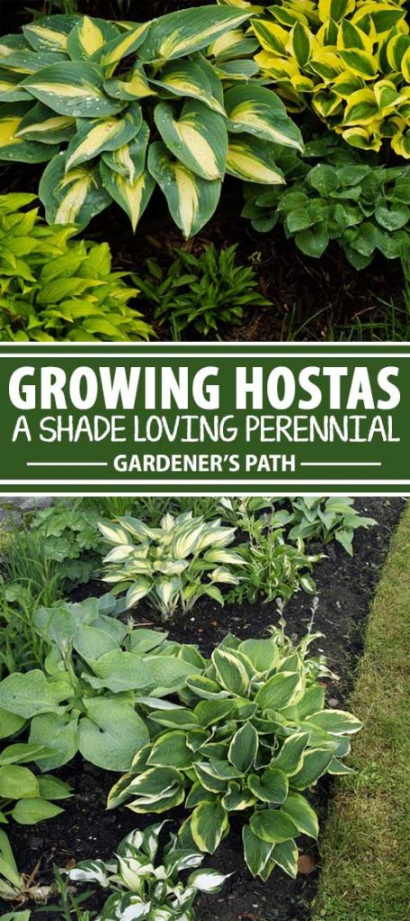 A collage of photos showing different cultivars of hostas growing in various shady locations.