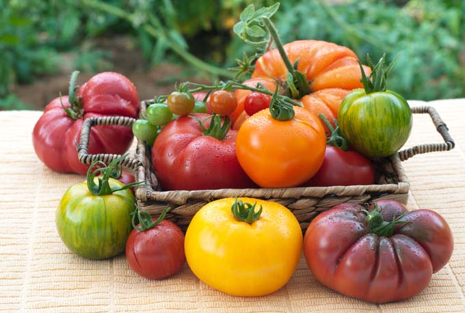 Heirloom tomatoes in a woven garden box sit on a wood table; many different colors of tomatoes - yellow, orange, red, purple, green