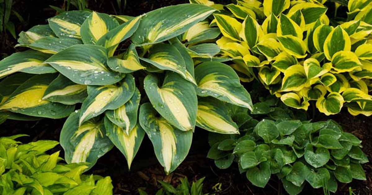 Growing Hostas A Favorite Shade Loving Perennial Gardeners Path