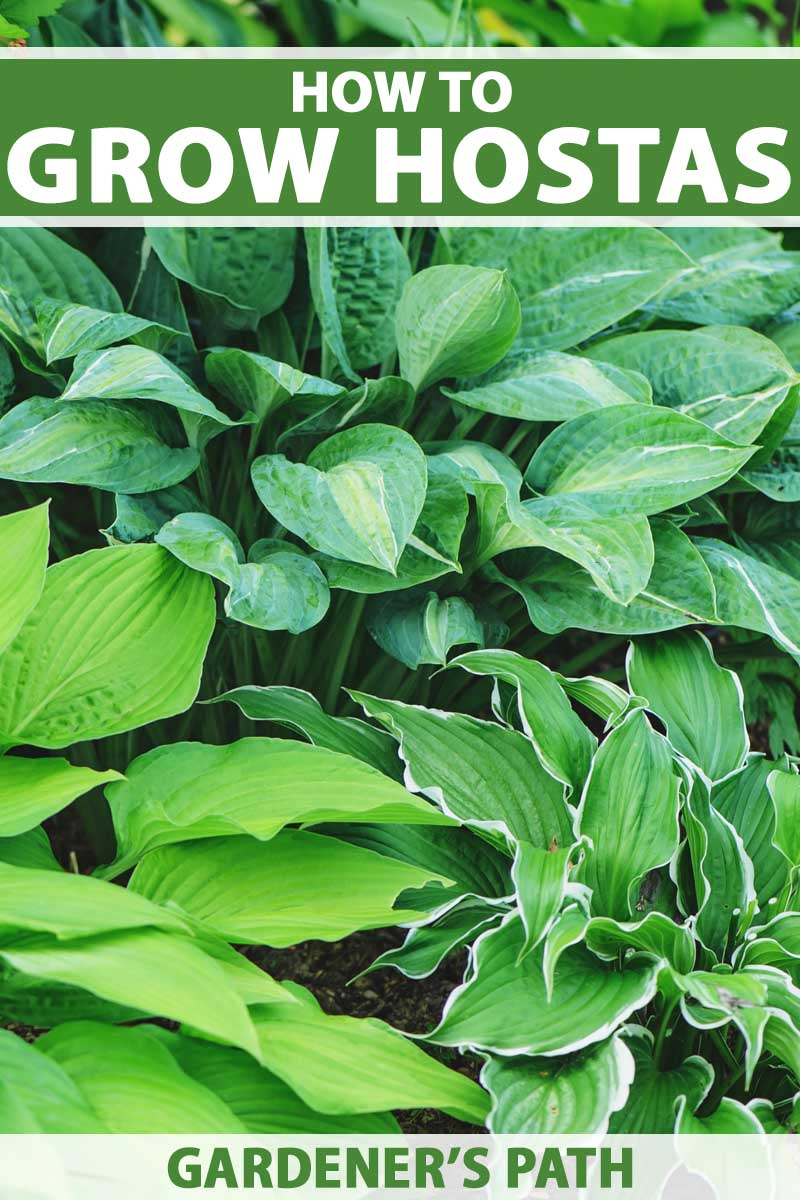 Three different kinds of hosta plants growing together.