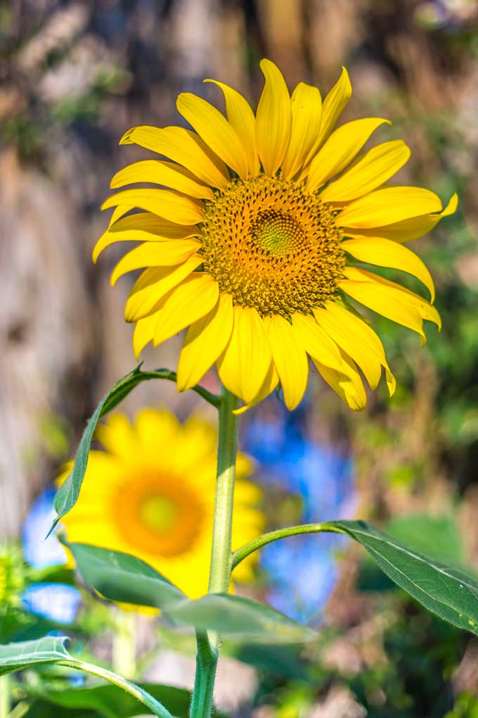 Sunflowers are an easy an attractive feature flower for your yard. Plus they provide a boon to birds and other wildlife in the form of sees. Learn how to grow these beauties now on Gardener's Path: https://gardenerspath.com/plants/annuals/sunflowers-beautiful-tasty-addition-landscape/