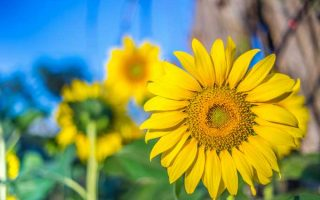 Sunflowers: a Beautiful and Tasty Addition to Your Landscape