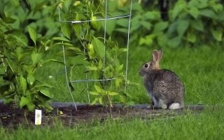Rabbits Are Cute for Easter but They Can Wreak Havoc in Your Garden