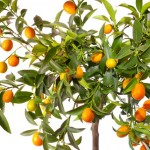 Close Up of the branches of a dwarf fruit tree; isolated background
