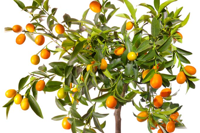orange fruit tree wallpapers