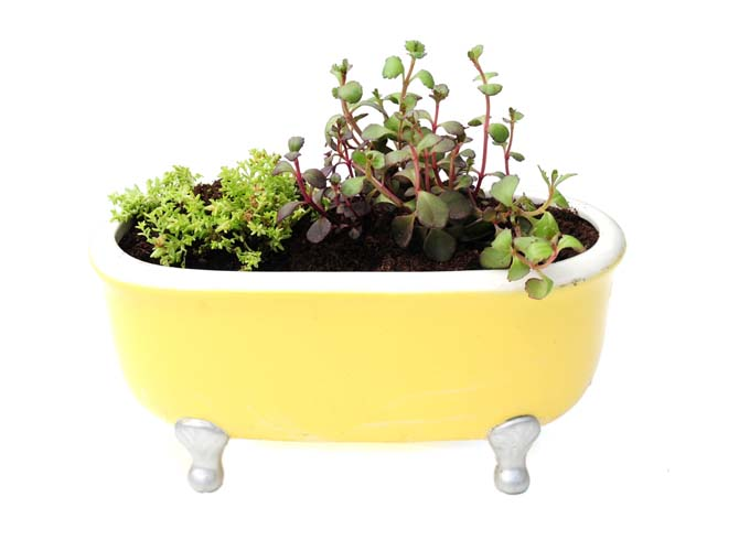 AN old yellow and white procelain claid footed bathtub being used as a planter