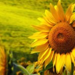 Giant Sunflower | GardenersPath.com