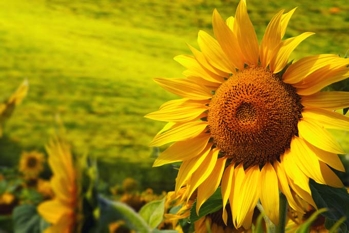 Sunflowers – a Beautiful and Tasty Addition to Your Landscape