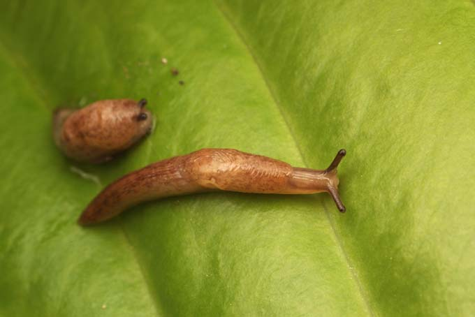 Two brown slugs on a leaf.