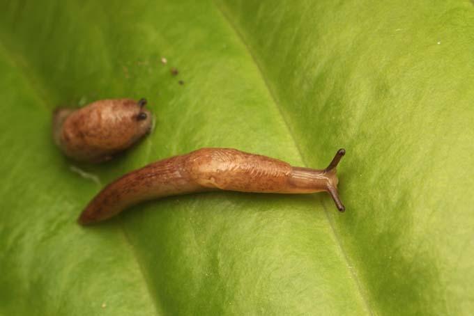 Brown slugs on hosta leave