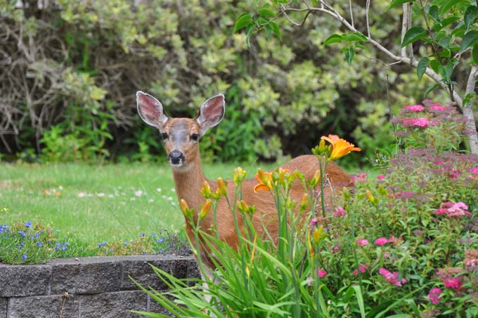 A doe (female deer) peeks her head around some landscaping plants looking to take a nibble.