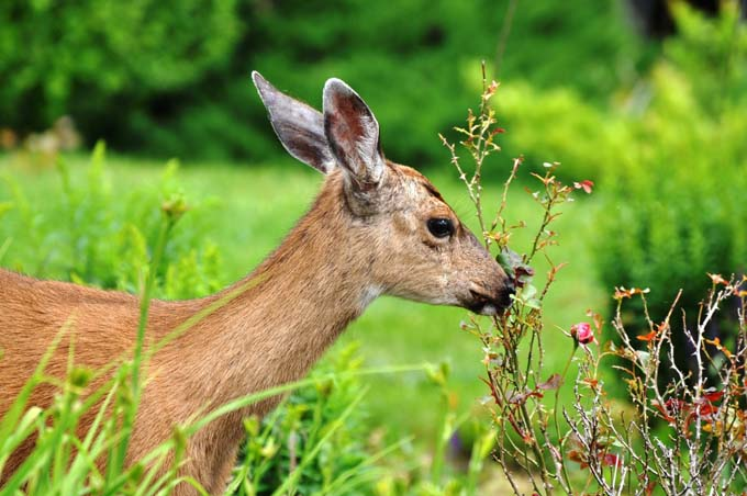 A deer finds a woody shrub in the landscaping to nibble on