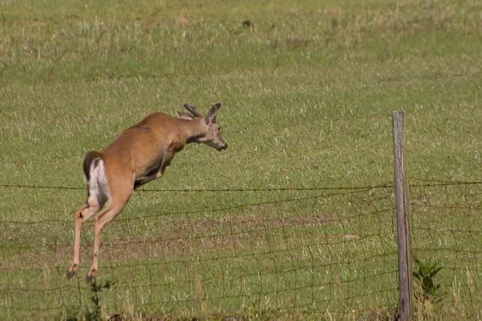 Whitetail Deer Jumping Over Field Fence