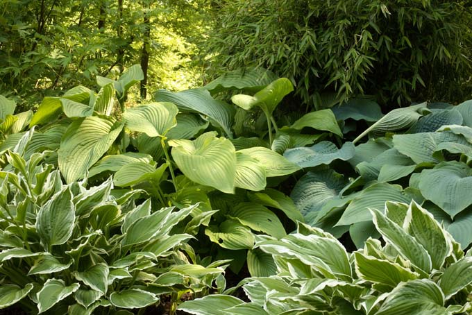 different types of hosta growing underneath tree canopy